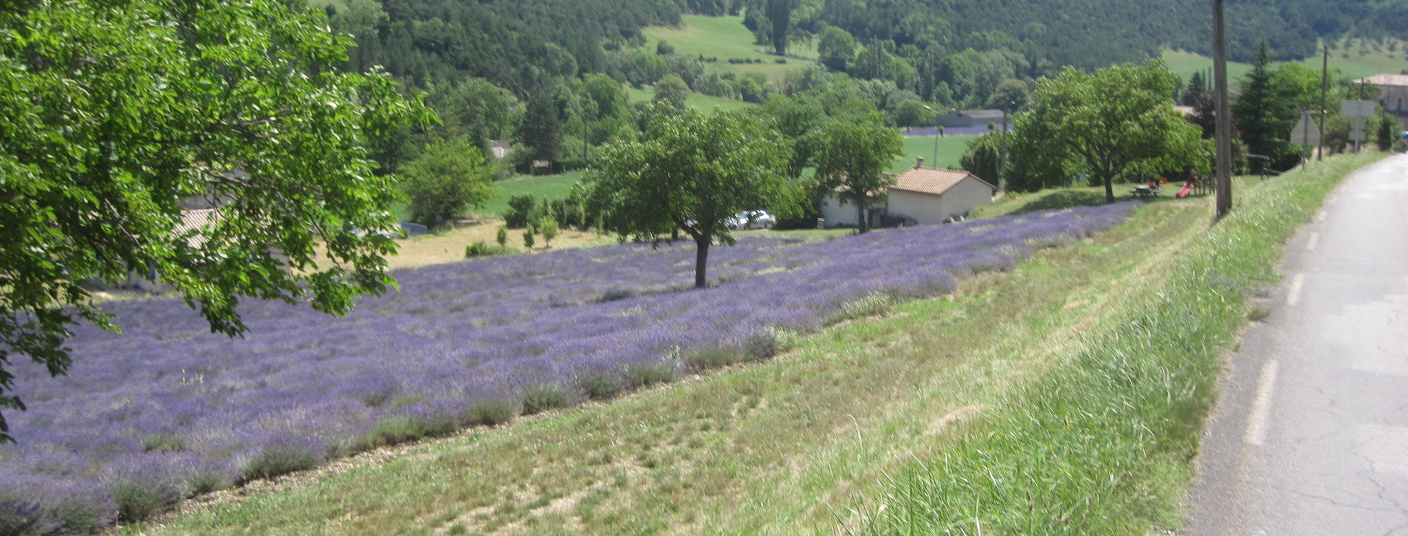 Lavender fields near Die.